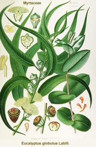 eucalyptus-globulus-he